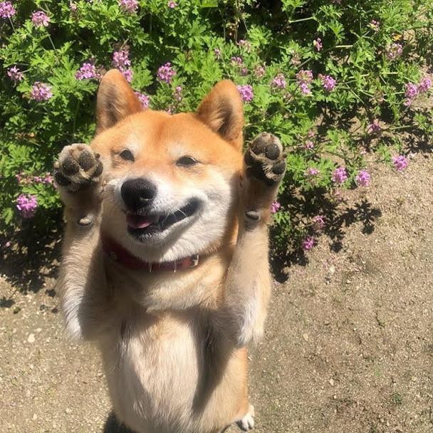 秋田犬の虎毛ってどんな色?虎毛の秋田犬の性格や飼育方法を紹介
