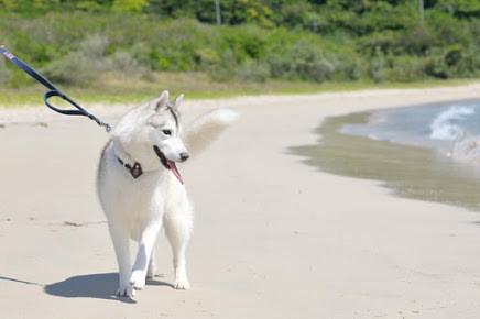 シベリアンハスキーの大きさや特徴とは?狼身体的特徴から性格を解説