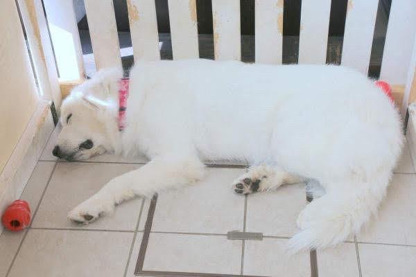 神秘的な白色!アルビノ犬の特徴とは?アルビノ犬を飼う際の注意点