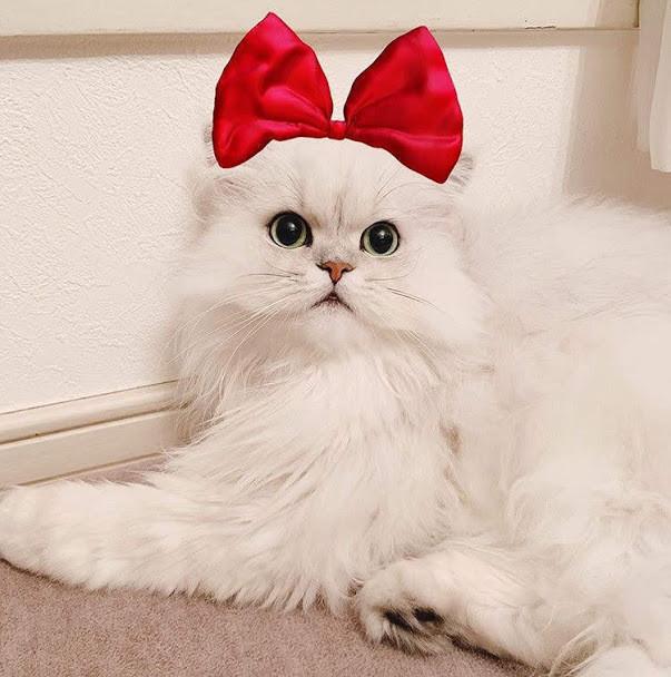 人気の高い白い猫の種類4選|種類ごとの特徴や性格をご紹介!