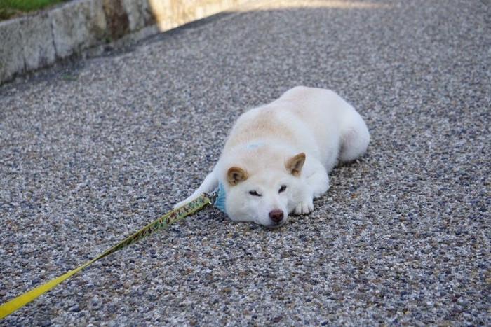 愛嬌がある性格の柴犬の特徴とは?性格や飼いやすさなども紹介