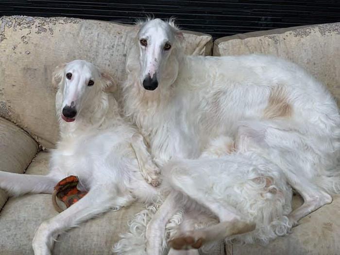 ロシア原産の人気犬種10選|ロシア犬の魅力をご紹介