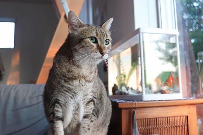 筋肉質の猫5選!オリエンタルショートヘアにも負けない魅力のある猫は?