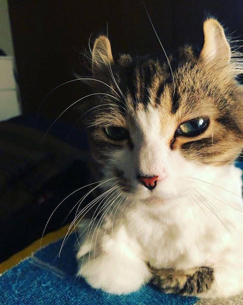 キジトラ白猫の特徴と性格を知ろう|キジ白は警戒心が強いの?