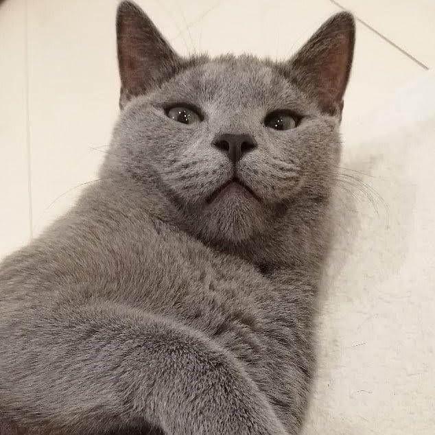 灰色(グレー)の猫の人気種類5選!|灰色猫の特徴・性格や歴史
