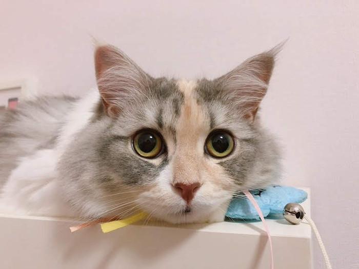 リンクスティップとは?リンクスティップを持っている猫をご紹介